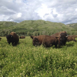 Saturday, August 20 – Road Trip to Terry Bison Ranch
